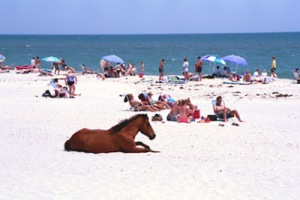 Assateague-Beach-Pony